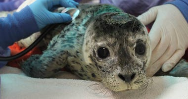 The Marine Mammal Center in Sausalito is busy treating seal pups rescued along the California coast.