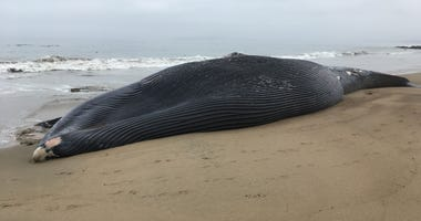 A blue whale that washed ashore in the Point Reyes National Seashore was probably killed after colliding with a ship, Marine Mammal Center officials said.