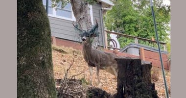 A buck in San Anselmo became entangled in Christmas lights, the Marin Humane Animal Services said on Dec. 2, 2019.