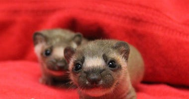 Baby Weasels