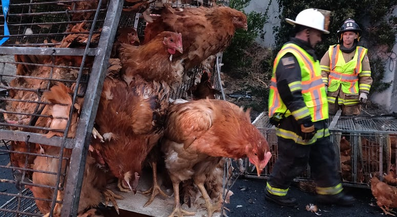 Caged chickens at San Pablo Dam Road I-80 truck wreck scene