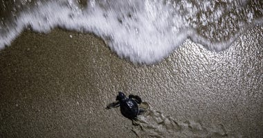 ADANA, TURKEY - AUGUST 23: A rescued baby green sea turtle moves towards the sea after being released by WWF staff after being rescued the previous day from a nest site at Acyatan Beach on August 23, 2018 in Adana, Turkey.