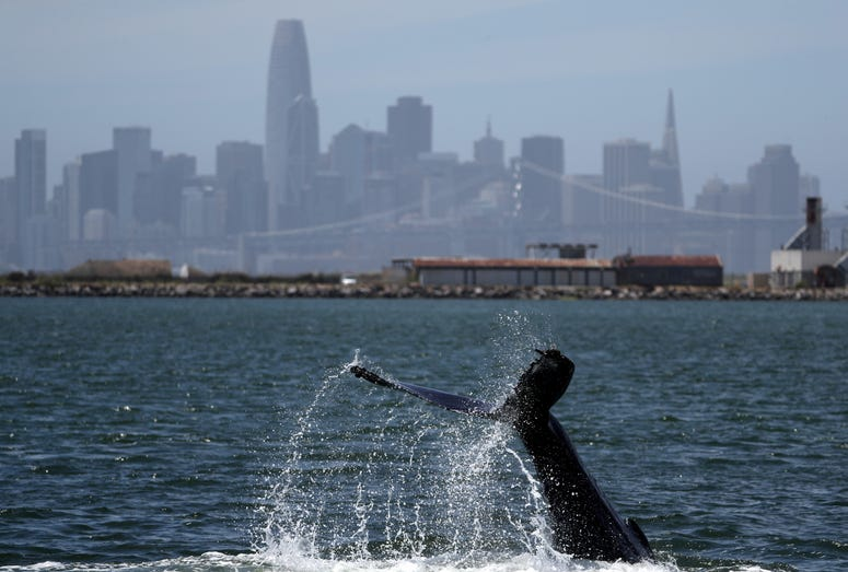 The fluke of a humpback whale is seen as the whale swims in a lagoon on June 05, 2019 in Alameda, California.