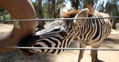 A zebra nudges a ring with its nose to release food at the Oakland Zoo on July 01, 2020 in Oakland, California.