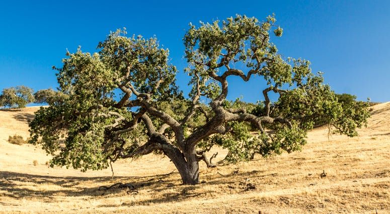 A California Live Oak tree spreads its limbs across the golden grassy hills of California