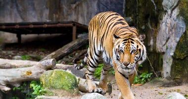 Tiger, Zoo Animal