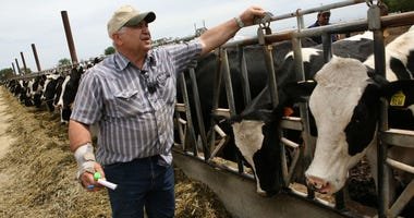 Dairyman Frank Faria checks on cows at the Faria Dairy Farm June 3, 2009 in Escalon, California. As milk prices plummet due to weakening international and national demand, dairy farmers across the U.S. are struggling to turn a profit.
