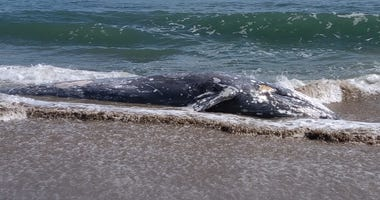 The remains of gray whale were found at Point Reyes National Seashore.