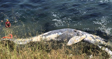 A dead gray whale washed up along the coast in Santa Cruz.