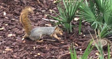 SJSU Squirrel With Peanut