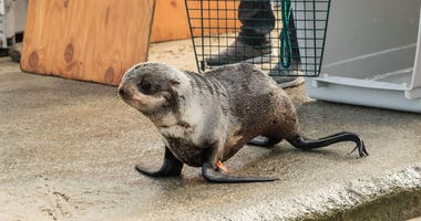 Santos the seal pup released back to sea after rescue from Redwood City parking garage
