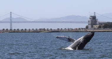 Humpback Whale Swims In Alameda Lagoon