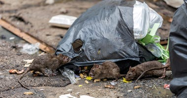 Rats grow aggressive as food supply swindles