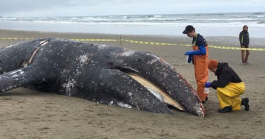 The remains of a gray whale washed up on Ocean Beach in San Francisco and were being examined by marine wildlife officials on May 7, 2019.