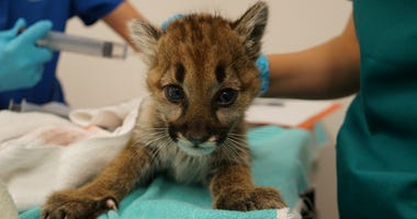 An abandoned mountain lion appears to be making a full recovery with zookeepers at the Oakland Zoo on Dec. 9, 2019.