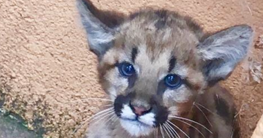 A mountain lion cub spotted in San Carlos.