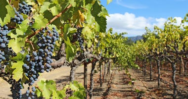 Grapes on the vine in the Napa Valley