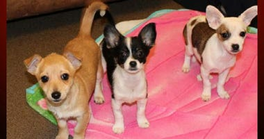 Puppies seized from a South San Francisco home following the arrest of Alexander Gamoney on suspicion of animal abuse. (Peninsula Humane Society)