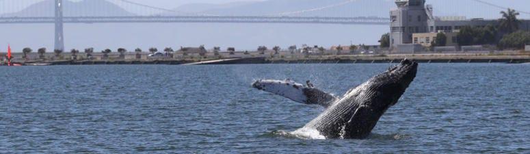 Humpback Whale Swims In Alameda Lagoon