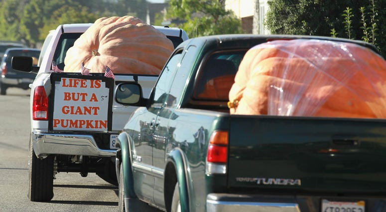 As in past years, the winning pumpkin from this week's championship weigh-off, along with four very-nearly-as-girthful gargantuan gourds, will be on display at the Half Moon Bay Art and Pumpkin Festival.