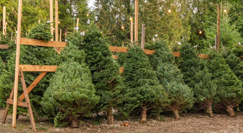 Christmas trees lined up for sale