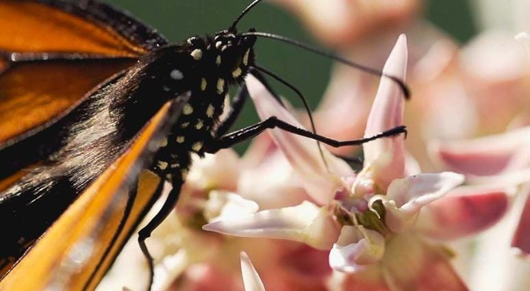 Monarch butterflies have been recently seen in Yosemite National Park, park officials said on Twitter on Aug. 10, 2019.