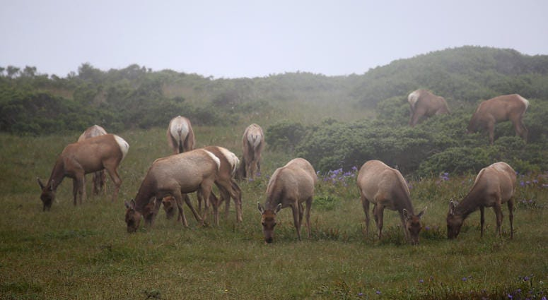 Tule Elk graze at Point Reyes National Seashore