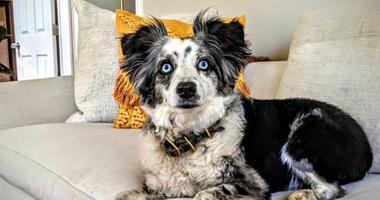 Emilie Talermo is searching for her missing mini-Australian shepherd who was last seen outside of a supermarket in San Francisco's Bernal Heights neighborhood on Dec.14, 2019.