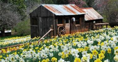 Daffodil Hill, a popular destination in Amador County, has been closed indefinitely, according to the owners of the property in July 2019.