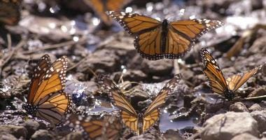 Monarch butterfly lifts off after drinking water January 29, 2001 at the butterfly sanctuary in Michoacan, Mexico.