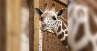 'April The Giraffe' Is Pregnant With Her Second Calf