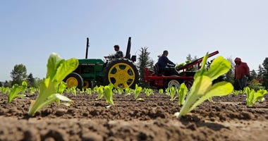 Workers plant romaine lettuce