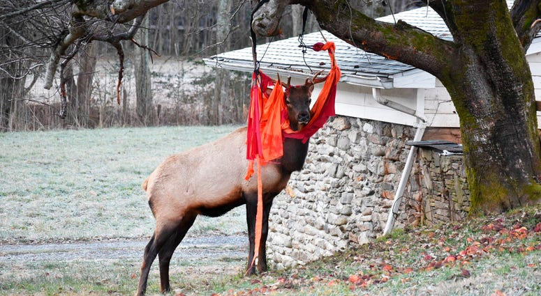 an elk stands stuck with a hammock in Beaver's yard in Maggie Valley, N.C.