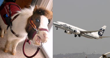 Alaska Airlines Now Allows Miniature Horses To Fly As Service Animals