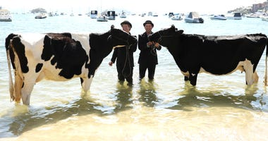 Aussie Artist Takes Cows For a Relaxing Stroll On the Beach