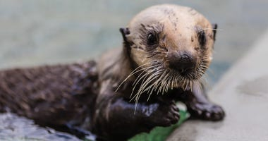 Baby Sea Otter Rescued After Mother Dies from Shark Attack