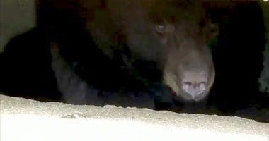 Bear Freed From Manhole After Getting Stuck In Storm Drain