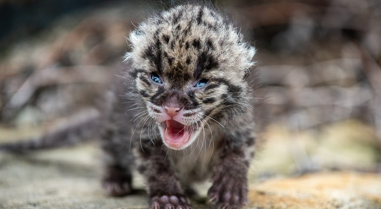 Clouded Leopard Cub at Pittsburgh Zoo
