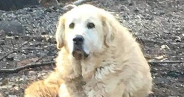 Dog Incredibly Survives Camp Fire; Stands Guard Over Ruined Home