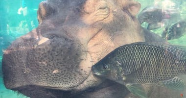 Fiona the Hippo Gets Kisses from Fish