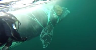 Free Willy: Chilean Navy Rescues Whale Trapped In Fishing Nets.jpg