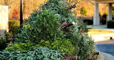 Used Christmas tree in front yard by curb, waiting for recycling pickup. Pile of cut and wasted christmas trees.
