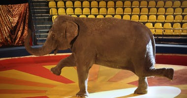 Training of an elephant in the circus ring