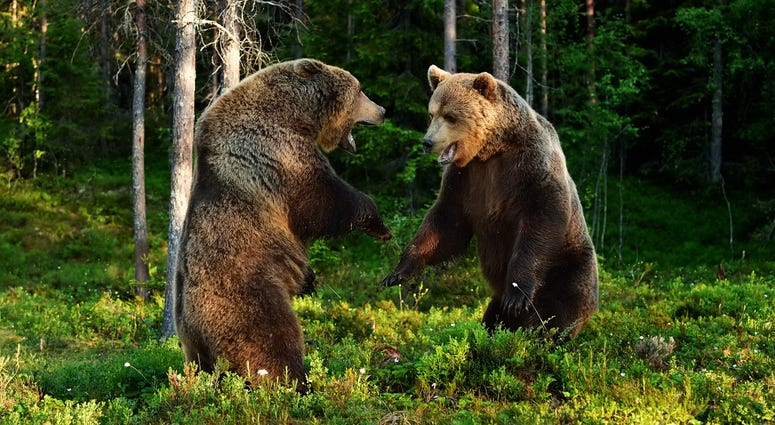 Brown bear fight. Brown bear aggression.