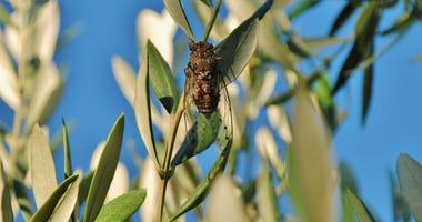 Cicada and Olive Tree