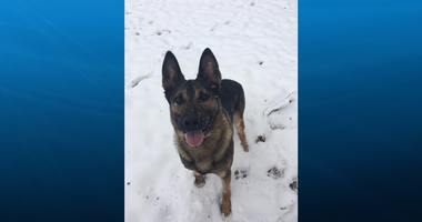 K9 Officer Junior in the snow