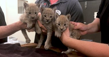 New Jersey Amusement Park Welcomes Three Adorable Lynx Cubs