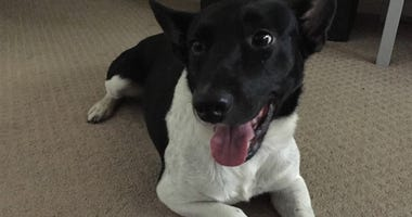 Rescue Dog Survives Hurricane and Gunshots, Now Looking For Forever Home