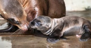 Smiley the sea lion pup at the Pittsburgh Zoo
