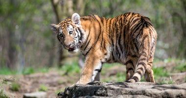 Tesha the Tiger at the Pittsburgh Zoo